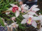 หนาวนี้พาไปดู ฤดูสีชมพูที่ศูนย์อนุรักษ์พันธ์กล้วยไม้รองเท้านารี อุทยานแห่งชาติดอยอินทนนท์